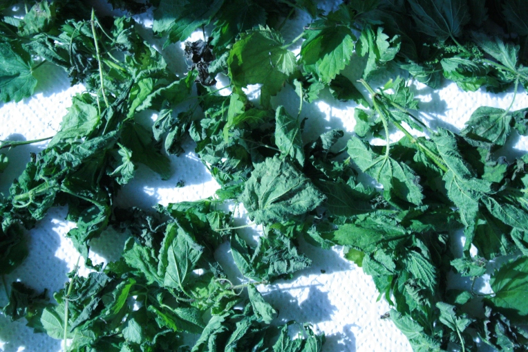Nettles drying on absorbent paper